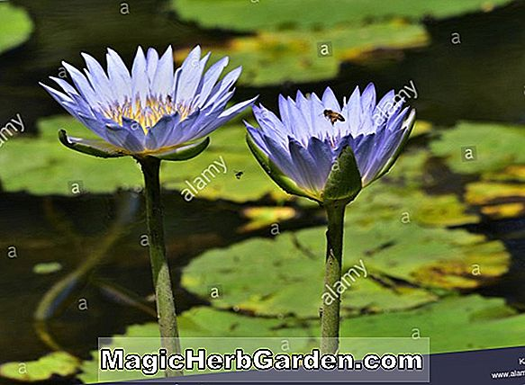 Nymphaea (Colossea Waterlily)