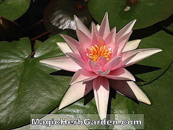 Nymphaea (Eugene de Land Hardy Water Lily)