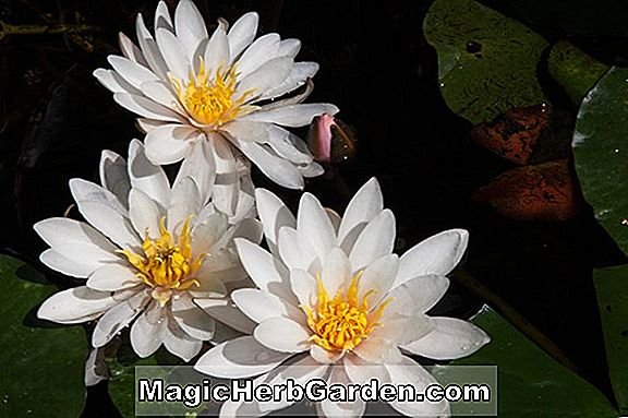 Planter: Nymphaea (Formosa Hardy Water Lily)