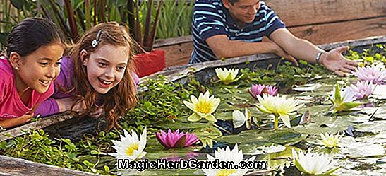 Planter: Nymphaea (Froebelii Hardy Water Lily)