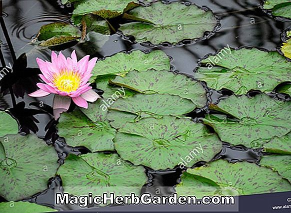 Nymphaea (General Pershing Tropical Waterlily)