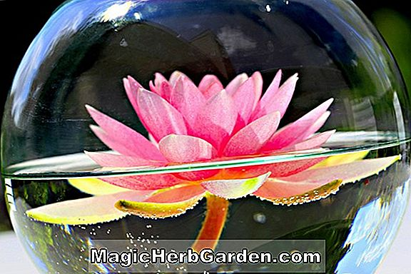 Planter: Nymphaea (Perrys Pink Beauty Hardy Water Lily)