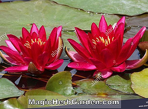 Nymphaea (Golden Fascinator waterlily)