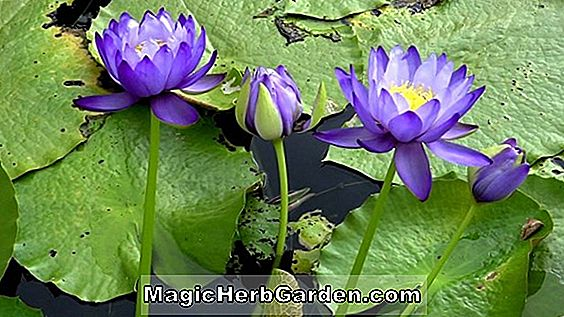 Nymphaea (Louise Hardy Waterlily)