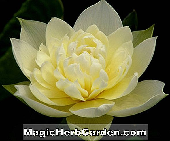 Planter: Nymphaea (Loose Hardy Water Lily)
