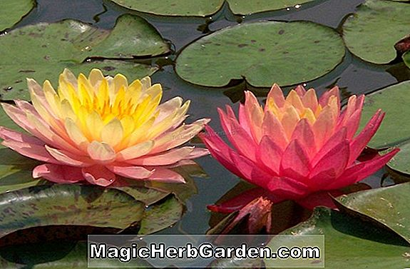 Tumbuhan: Nymphaea (Perry Red Bicolor Hardy Water Lily)