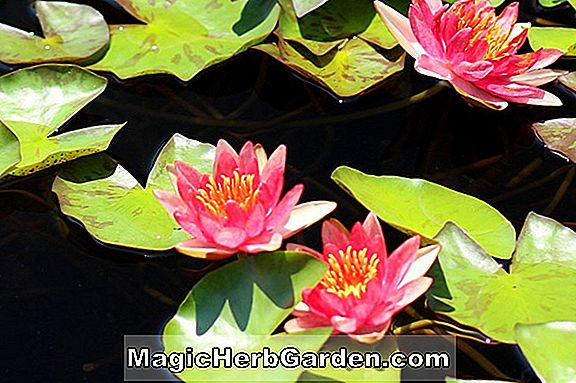 Nymphaea (Phoebus Hardy Water Lily)