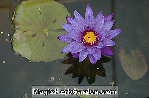 Nymphaea (Pride of California Tropical Water Lily)