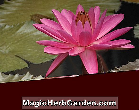 Planter: Nymphaea (Rosa de Nocha Tropical Water Lily)