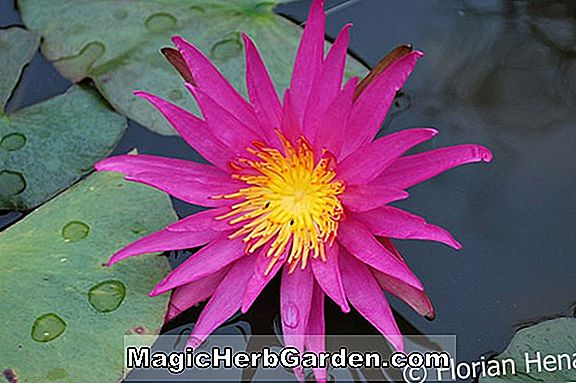 Planter: Nymphaea (Rosennymphe Hardy Water Lily)