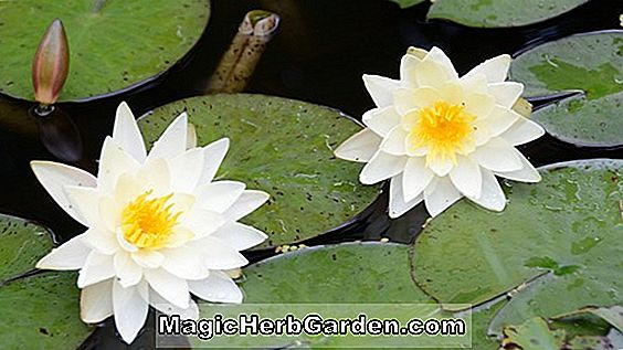 Planter: Nymphaea alba (White Waterlily)