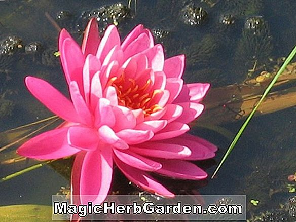 Planter: Nymphaea (B.C. Berry)