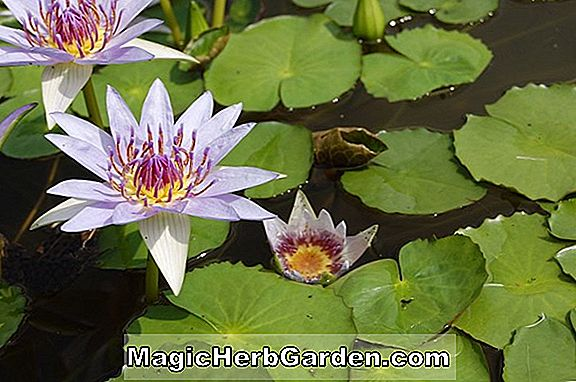 Nymphaea flavovirens (Orchid Star)