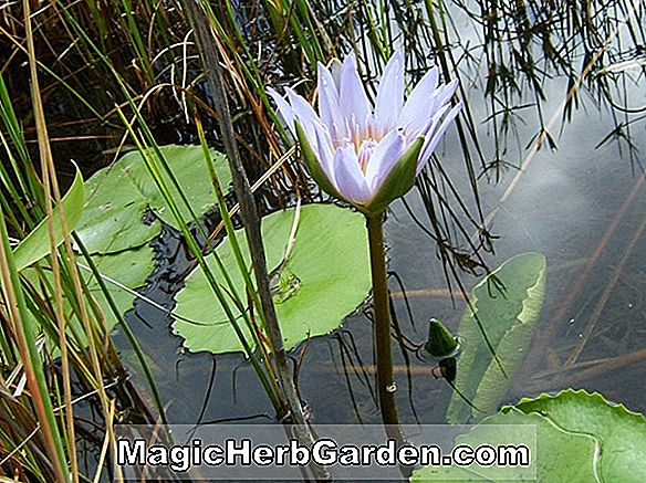 Nymphaea capensis var. zanzibariensis (Royal Blue Waterlily)