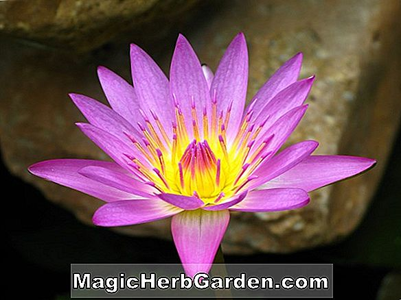 Nymphaea capensis (Cape Blue Waterlily)