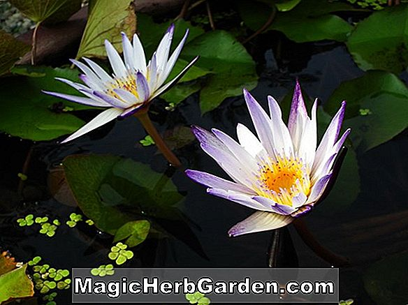 Nymphaea (Edward D. Uber Tropical Water Lily)