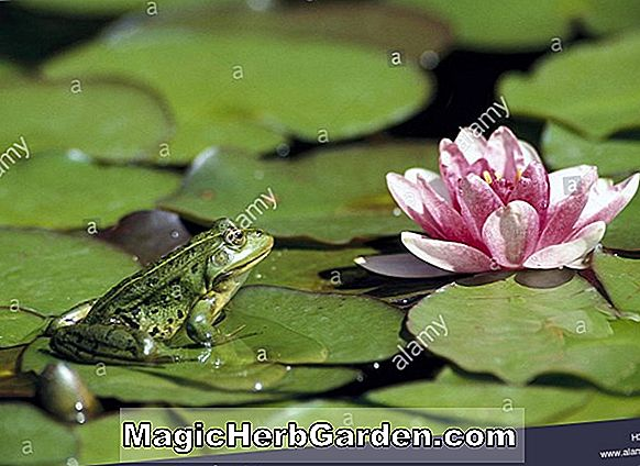 Nymphaea flavovirens (Frog Water Lily)