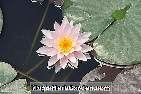 Nymphaea flavovirens (Red Star)