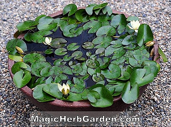 Planter: Nymphaea froebelii (Waterlily)