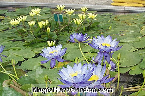 Nymphaea (Sunrise Water Lily)