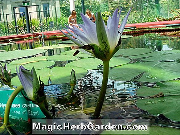 Planter: Nymphaea (Janice C. Wood Waterlily)
