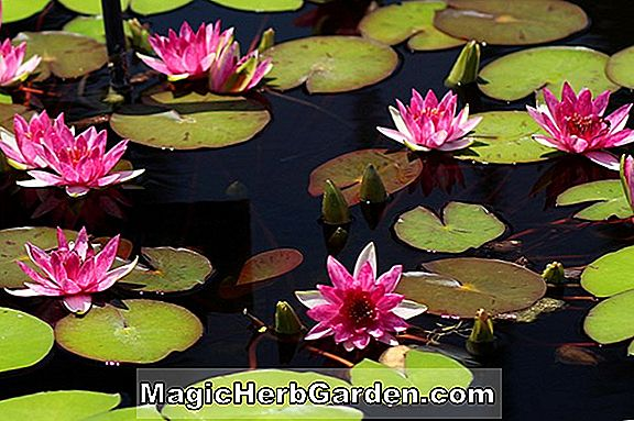 Planter: Nymphaea laydekeri (Waterlilly)
