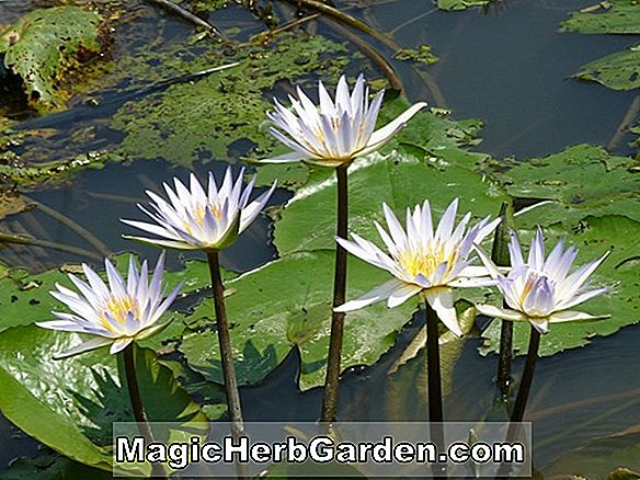 Nymphaea (Wild Rose Tropical Water Lily)
