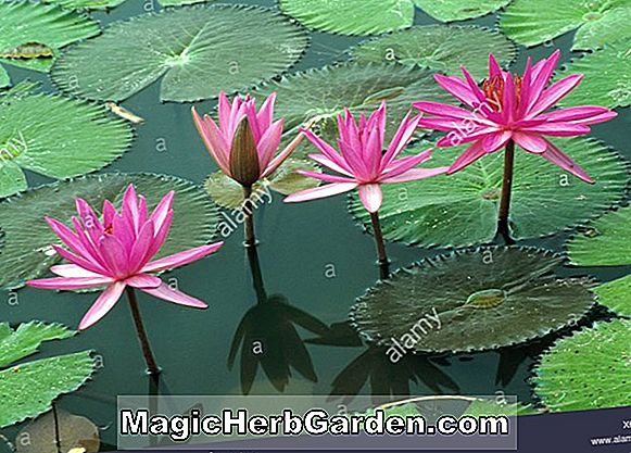 Planter: Nymphaea marliacea (Flammea)