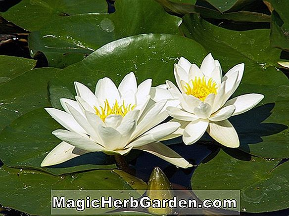 Nymphaea Stuhlmannii (Waterlily)