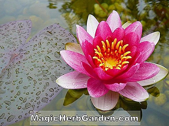 Nymphaea rubra (Red Indian Water Lily)
