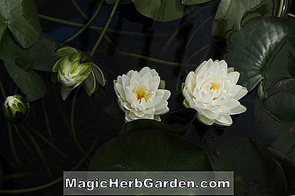 Planter: Nymphaea tuberosa (Richardsonii Nymphaea)