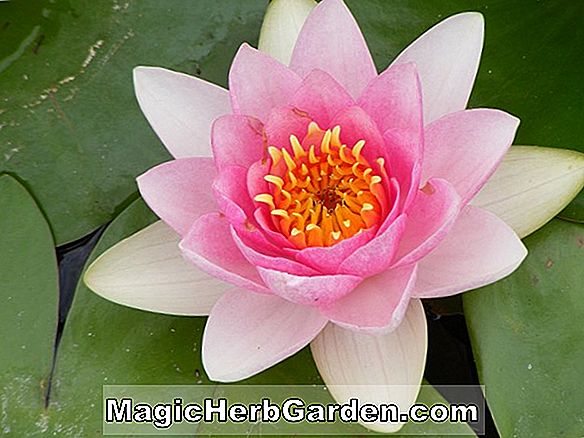 Nymphaea (Fru Edwards Whitaker Waterlily)