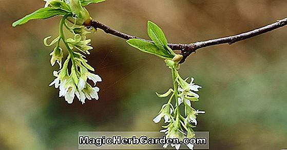 Oemleria cerasiformis (Indian Plum)