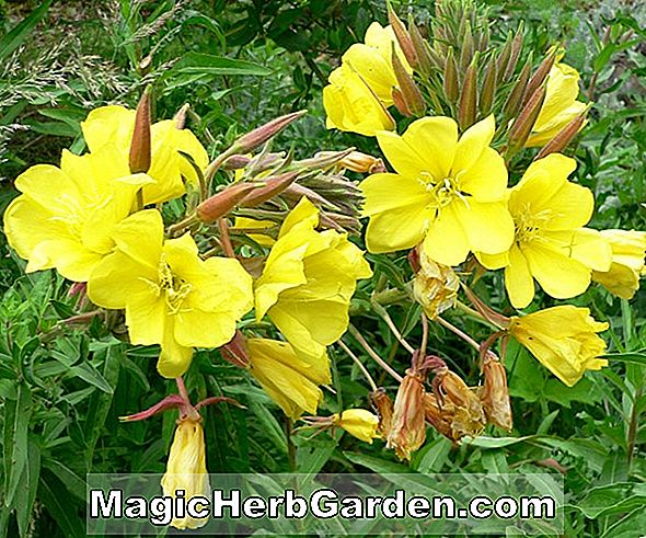 Planter: Oenothera elata (Evening Primrose)