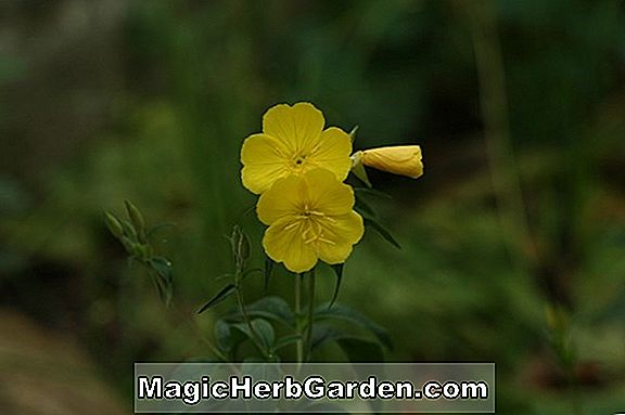 Oenothera fruticosa (Faits saillants Sundrops)