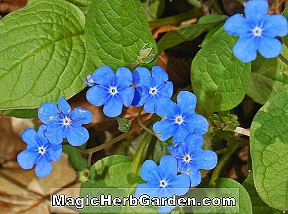 Planter: Omphalodes verna (Blue Eyed Mary)