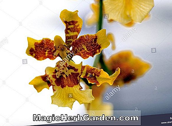 Oncidium longipes (Oncidium Orchid)