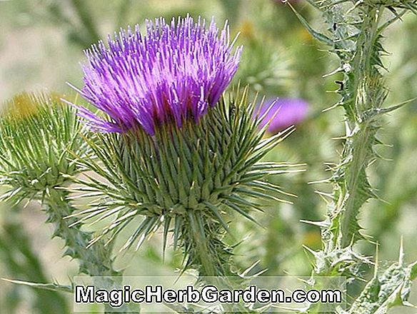 Planter: Onopordum acanthium (Scotch Thistle)