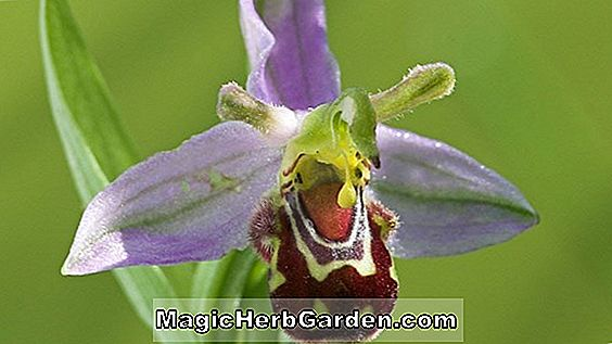 Planter: Ophrys apifera (Bee Orchid)