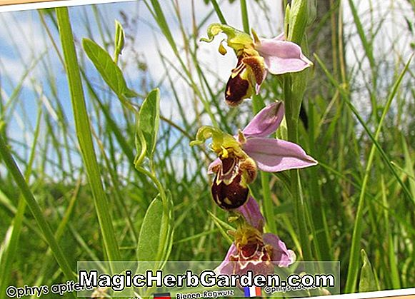 Planter: Ophrys holoserica (Late Spider Orchid)