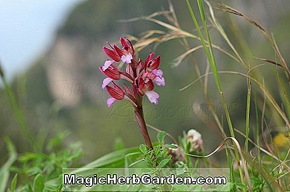 Orchis papilionacea (Butterfly Orchid)