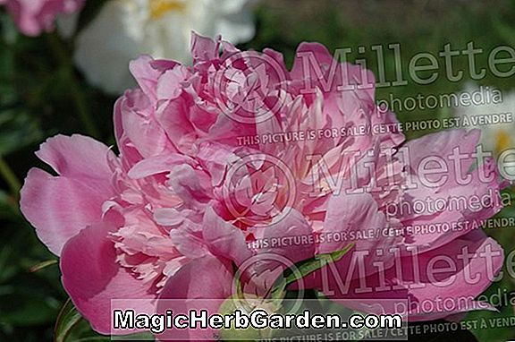 Paeonia (Mother's Choice Peony)