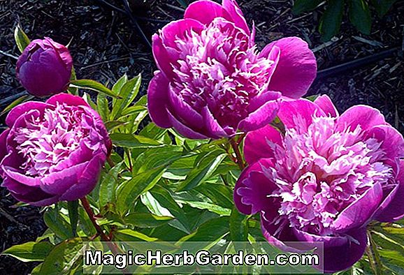 Planter: Paeonia lactiflora (Belle Center Peony)