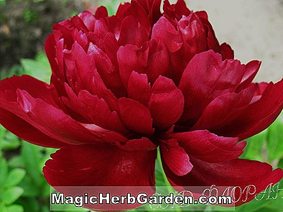 Paeonia lactiflora (Betty Warner Pfingstrose)