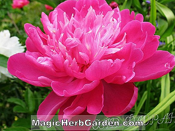 Paeonia lactiflora (Cheddar Cheese Peony)