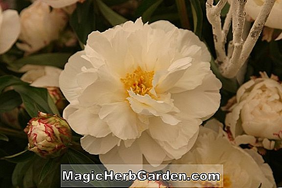 Paeonia lactiflora (Couronne d'Or Peony)