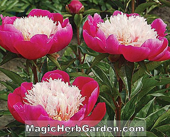 Planter: Paeonia lactiflora (Old Faithful Peony)