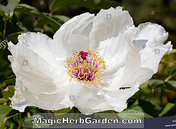 Planter: Paeonia lactiflora (Imperial Red Peony)