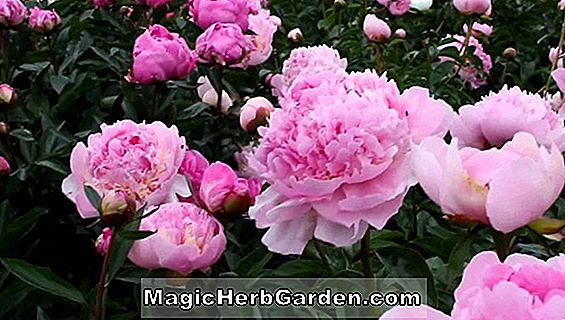 Planter: Paeonia lactiflora (Great Lady Peony)