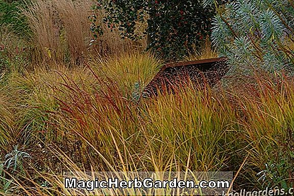 Panicum virgatum (Hanse Herms Switch Grass)